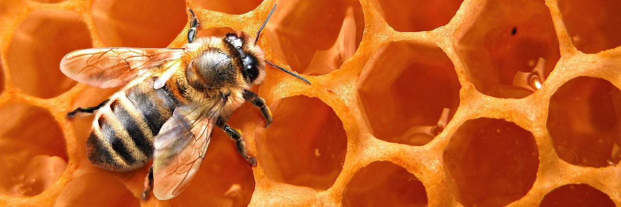 Bal arısı
